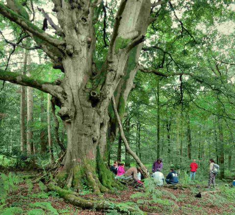 Chêne dans la forêt de merlin Angleterre Oasis