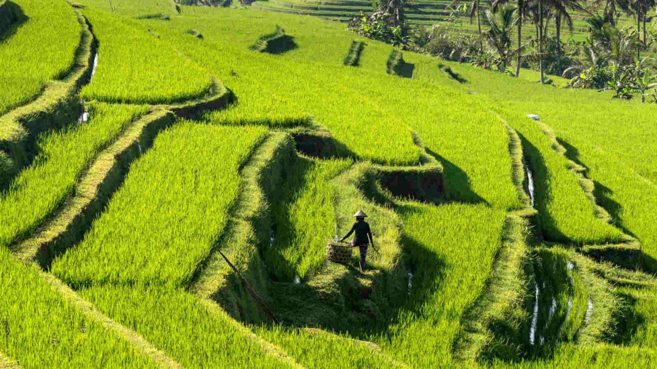 Beauté des rizières à Bali Oasis