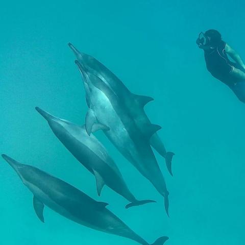 Danse dauphins Mer Rouge Oasis